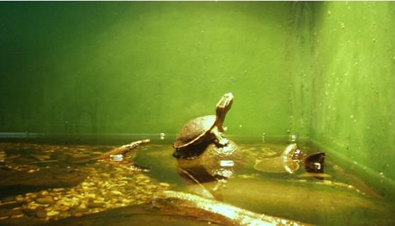 Tortuga bebe del acuario nacional for Acuario tortugas